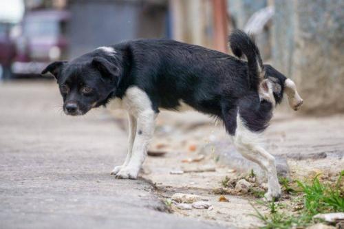 Urina scura nel cane: cause connesse e quando devi preoccuparti